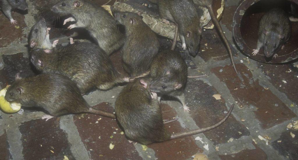 уничтожение крыс в Жигулевске